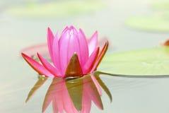 Den rosa lotusblomman och skuggan i dammet Fotografering för Bildbyråer