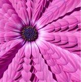 Den rosa magentafärgade fractalen för abstrakt begrepp för kamomilltusenskönablomman multiplicerar effektmodellbakgrund Blom- abs Arkivfoton