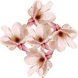 Den rosa magnoliafilialen blommar, stänger sig upp, den blom- ordningen som isoleras Fotografering för Bildbyråer