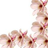 Den rosa magnoliafilialen blommar, stänger sig upp, den blom- ordningen som isoleras Arkivfoto