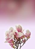 Den rosa magnoliafilialen blommar, stänger sig upp, rosa färger till malvafärgad degradeebakgrund Royaltyfria Bilder