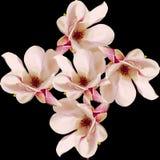 Den rosa magnoliafilialen blommar, stänger sig upp, den blom- ordningen som isoleras Royaltyfri Fotografi