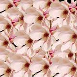 Den rosa magnoliafilialen blommar, stänger sig upp, den blom- ordningen som isoleras Royaltyfria Bilder