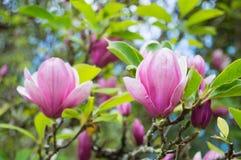 Den rosa magnolian blommar i trädgården arkivfoton