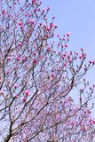 Den rosa magnolian blommar på bakgrund för blå himmel arkivfoton