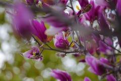 Den rosa magnoliaträdblomman parkerar inget arkivbild