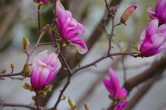 Den rosa magnoliatr?dblomman parkerar inget royaltyfri fotografi