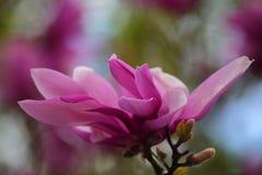 Den rosa magnoliatr?dblomman parkerar inget royaltyfri bild