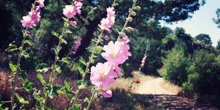 Den rosa malvaen blommar nära en gångbana åldrigt foto royaltyfri bild