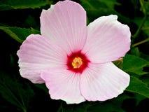 Den rosa malvan - steg Arkivfoton