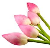 Den rosa Nelumbonuciferaen blommar, stänger sig upp, isolerat Royaltyfri Foto