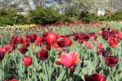 Den rosa och röda tulpan blommar i en trädgård Royaltyfria Bilder