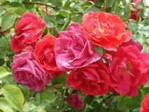 Den rosa och röda uteplatsen steg blommor på en solig dag Arkivfoto