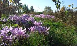 Den rosa och violetta colchicumen blommar på ängen Fotografering för Bildbyråer