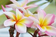 Den rosa och vita blomman parkerar in 116 royaltyfri fotografi