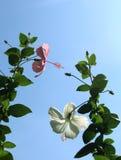 Den rosa och vita hibiskusen blommar med himmel Royaltyfria Foton