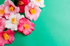 Den rosa och vita kamelian blommar på gräsplan royaltyfria foton