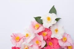 Den rosa och vita kamelian blommar på vit royaltyfria bilder