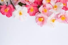 Den rosa och vita kamelian blommar på vit arkivfoton