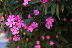 Den rosa oleander blommar på en filial Fotografering för Bildbyråer