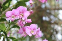 Den rosa orkidéblomman i trädgårds- bakgrund, rosa färg blommar Fotografering för Bildbyråer