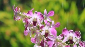 Den rosa orkidén med gräsplan och vatten tappar bakgrund lager videofilmer