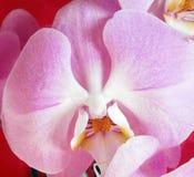 Den rosa orkidén, stillar blomman Arkivfoto