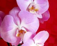 Den rosa orkidén, stillar blomman Arkivbilder
