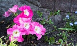 Den rosa pansiesväxten blommar på graunden Royaltyfri Bild