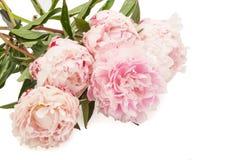 Den rosa pionen Royaltyfria Bilder