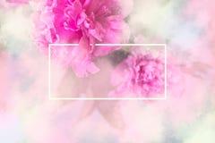 Den rosa pionen blommar bakgrund med den vita ramen; blom-/brud- lodisar royaltyfri bild