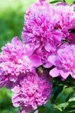 Den rosa pionen blommar closeupkronbladsikt royaltyfri foto