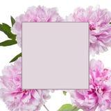 Den rosa pionen blommar med ramen Royaltyfria Foton