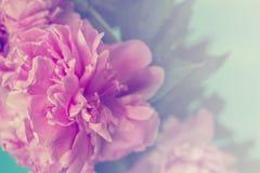 Den rosa pionen blommar på blå bakgrund; bakgrund för pastellfärgade färger royaltyfri fotografi