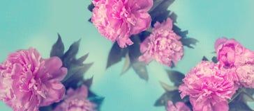 Den rosa pionen blommar på blå bakgrund; bakgrund för pastellfärgade färger royaltyfria bilder
