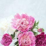 Den rosa pionen blommar på vit bakgrund royaltyfria bilder