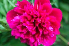 Den rosa pionen blommar tätt upp Royaltyfria Bilder