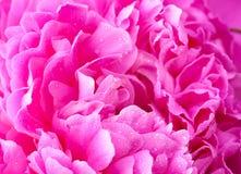 Den rosa pionen med waterdrops stänger sig upp Arkivbild