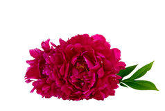 Den rosa pionen på isolerad vit bakgrund Royaltyfria Foton