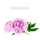 Den rosa pionen på isolerad vit bakgrund Arkivfoto