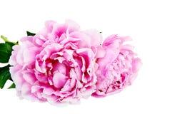 Den rosa pionen på isolerad vit bakgrund Royaltyfri Bild