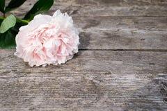 Den rosa pionen steg på en träbakgrund Arkivfoto