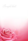 den rosa poctcarden steg Arkivfoto