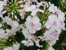 Den rosa purpurfärgade floxen blommar i trädgården Denna är blommor av phloxen Det är temat av säsonger Royaltyfria Foton