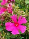Den rosa purpurfärgade floxen blommar i trädgården Denna är blommor av phloxen Det är temat av säsonger Arkivbild