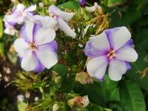 Den rosa purpurfärgade floxen blommar i trädgården Denna är blommor av phloxen Det är temat av säsonger Arkivbilder