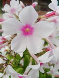 Den rosa purpurfärgade floxen blommar i trädgården Denna är blommor av phloxen Det är temat av säsonger Royaltyfri Fotografi