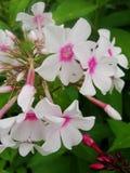 Den rosa purpurfärgade floxen blommar i trädgården Denna är blommor av phloxen Det är temat av säsonger Royaltyfria Bilder