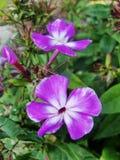 Den rosa purpurfärgade floxen blommar i trädgården Denna är blommor av phloxen Det är temat av säsonger Arkivfoto