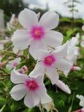Den rosa purpurfärgade floxen blommar i trädgården Denna är blommor av phloxen Det är temat av säsonger Royaltyfri Foto